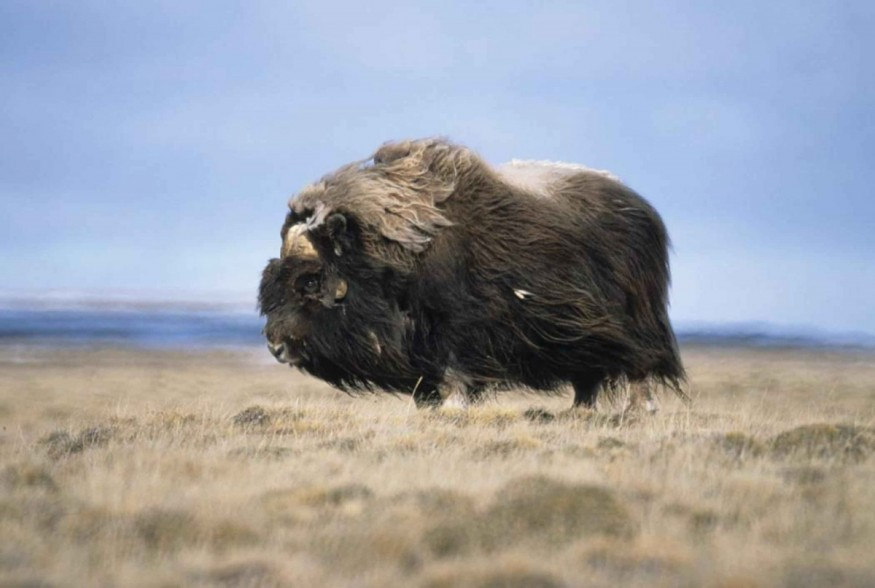 Musk_ox_bull_animal_ovibos_moschatus