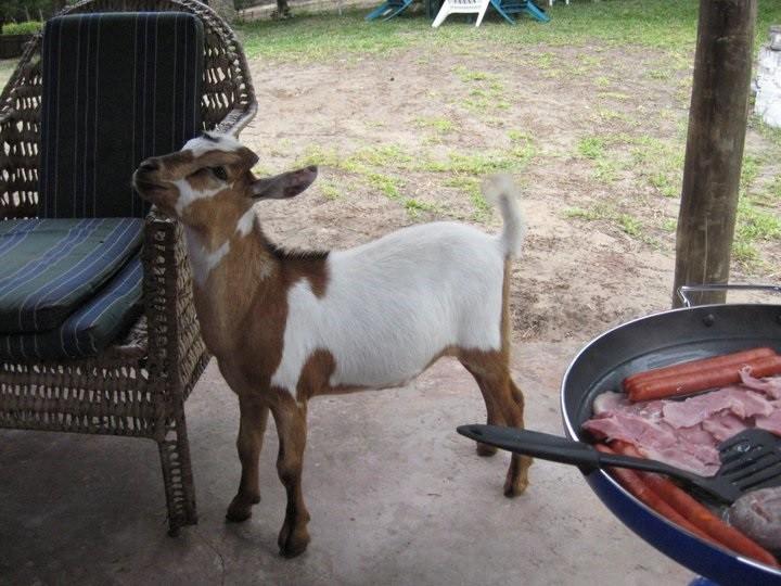 Supper the goat. No, we didn't eat him. We just named him Supper.